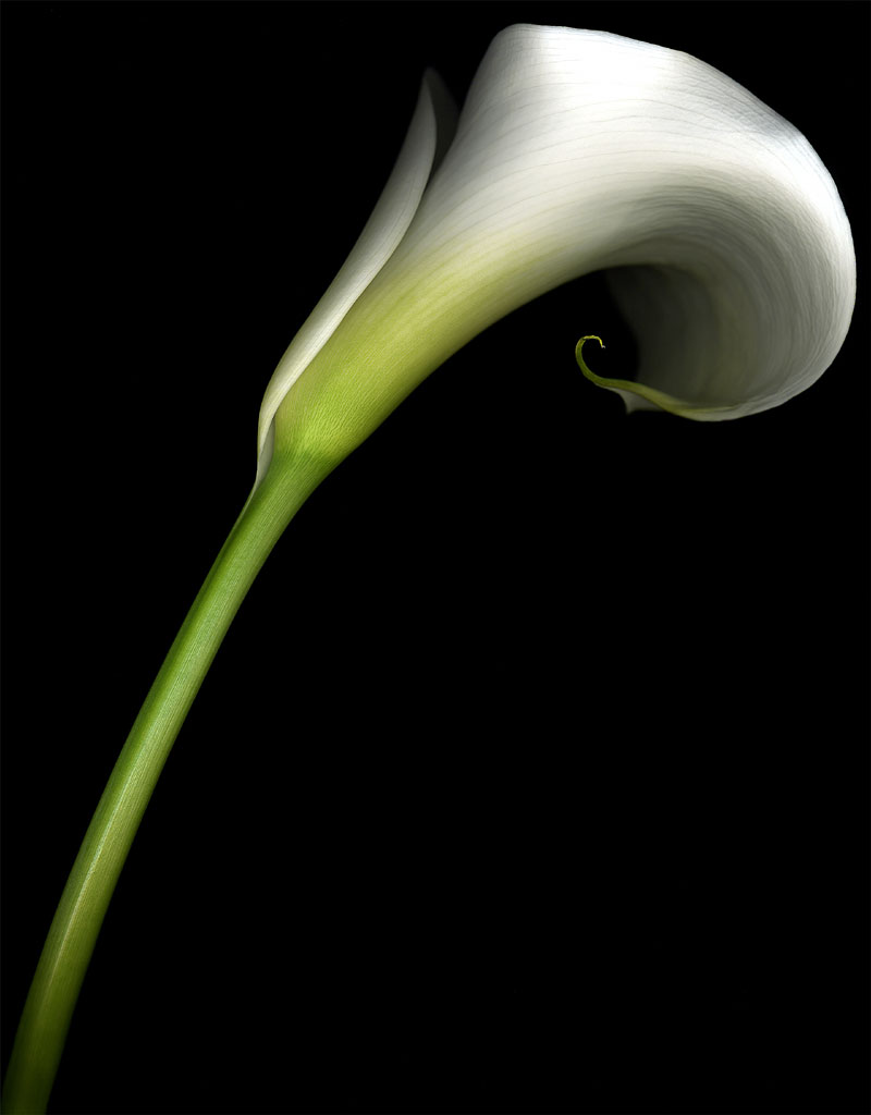 talking about flowers the calla lily praesto acacia. Black Bedroom Furniture Sets. Home Design Ideas